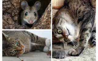 Gatos e gatos comem ratos?