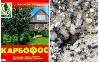 Formigas anthis no jardim
