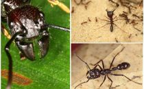 Formigas bala