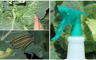Como se livrar de borboletas e lagartas de repolho