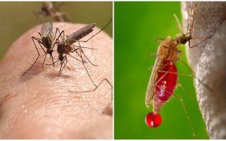 Quantas vezes pode uma picada de mosquito