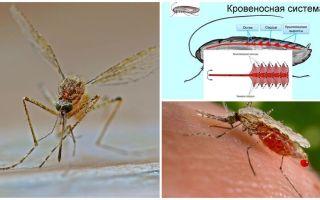 Fatos interessantes sobre a estrutura dos mosquitos