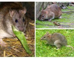 Como são os ratos?