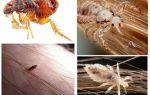 Qual é a diferença entre piolhos e pulgas?