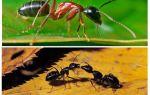 Quanto custa uma formiga
