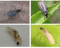 Como se livrar de moscas negras em plantas de interior e vasos de flores