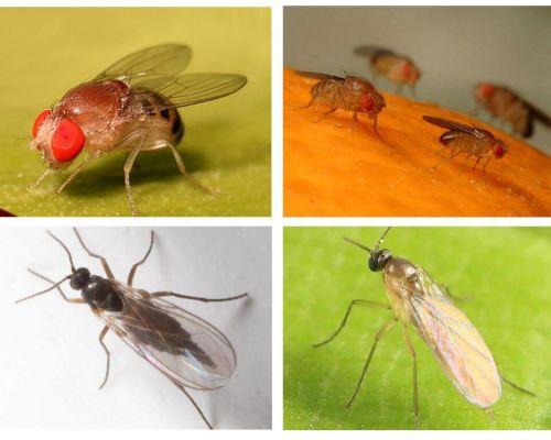 Como se livrar de moscas negras na cozinha