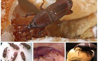 Escaravelho Ambar como lutar