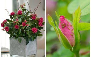 Pulgões em rosas - como lidar e como se livrar