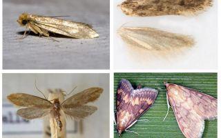 O que ajuda a partir da traça e suas larvas
