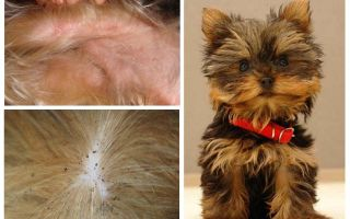 Como remover pulgas do Yorkshire terrier