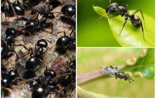 Tipos de formigas na Rússia e no mundo