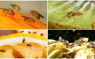 Moscas de Drosophila