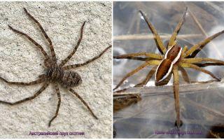 Aranha caçador australiano