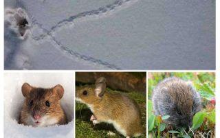 Vestígios de ratos na neve
