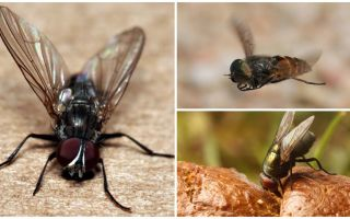 Onde moscas vêm de dentro de casa