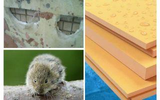 Os ratos comem espuma de poliestireno extrudido