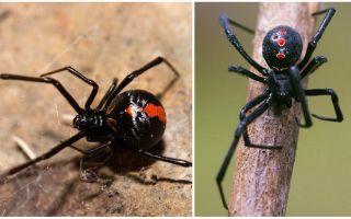 Descrição e fotos da aranha viúva negra