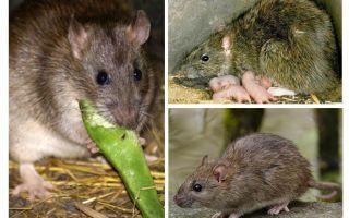 Ratos selvagens