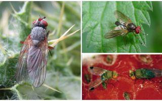 Como lidar com uma mosca carmesim