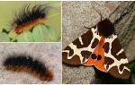 Descrição e foto dipper caterpillar Kaya