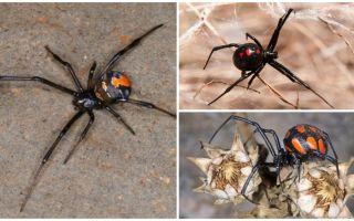 Como o karakurt de aranha