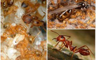 Formigas faraó