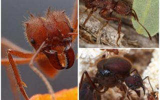 Cortadores de folhas de formigas
