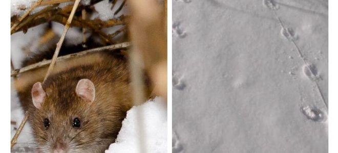 Como são as pegadas de ratos na neve