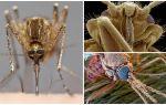 Mosquito em uma visão maior