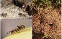 Formigas pretas de jardim