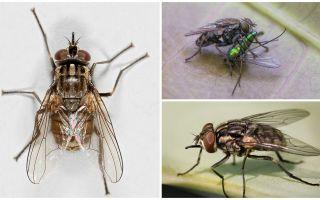 Descrição e foto da mosca voar zhigalki