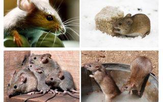 Fatos interessantes sobre ratos