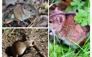 Ratos de campo