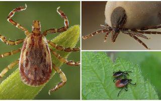 Besouros semelhantes a carrapatos