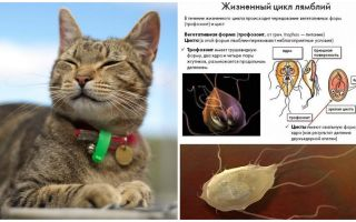 Sintomas e tratamento de Giardia em gatos