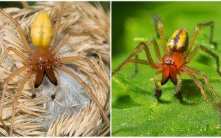 Descrição e foto da aranha Sak (Heiracantium)