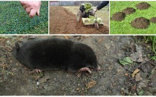 Como afugentar moles da dacha ou jardim
