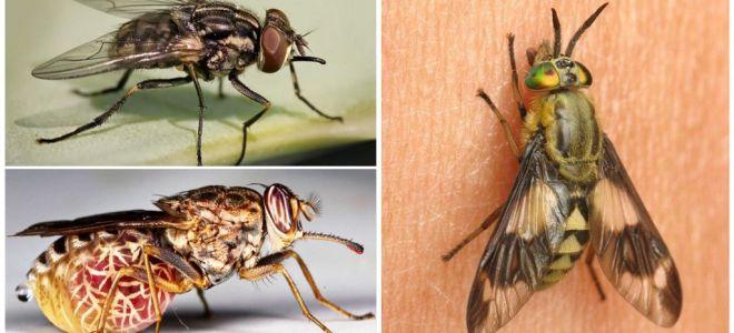 Espécies de moscas com uma foto e descrição