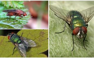 Descrição e foto da mosca do estrume