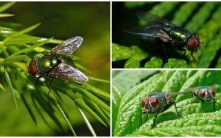Descrição e foto de moscas verdes