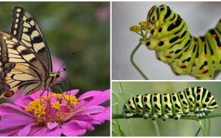 Descrição e foto da lagarta da borboleta Machaon