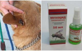 Como e o que tratar as orelhas de um cão das moscas