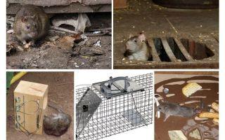 Como remover ratos dos remédios populares do porão