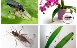 Como se livrar de mosquitos fungos (sciarid)
