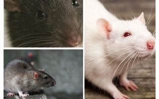 Visão de rato