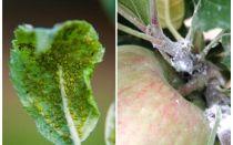 Como se livrar de pulgões em macieiras