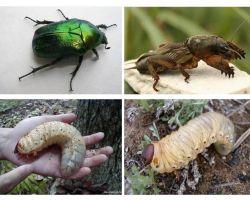 Qual é a diferença entre as larvas do urso e o besouro