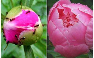 Como processar peônias de formigas, remédios populares
