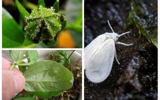 Como se livrar da mosca branca em flores internas
